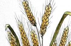 Image result for barley watercolour
