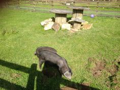 New Cornish Black pigs at Meadow Lakes arrival May 2014