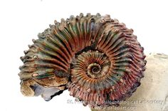 Russian ammonite kosmoceras