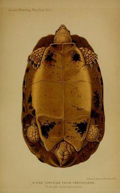 A new tortoise from Travancore
