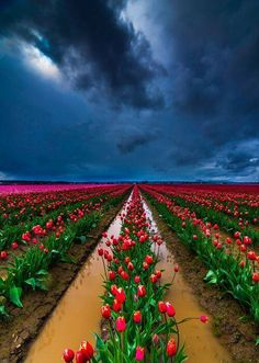 Beautiful World, Beautiful Places, Beautiful Pictures, Tulip Fields, Places Around The World, Land Scape, Beautiful Landscapes, Champs, Wonders Of The World