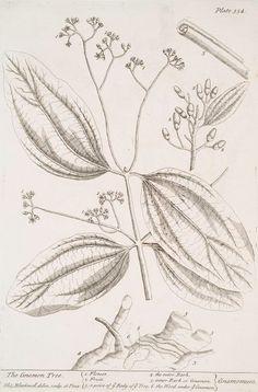 The cinamon tree. [Cinamomum.] (1739)
