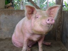 Balinese Pig #pig #bali