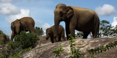 CINNAMON WILD YALA - Sri Lanka