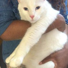 Beethoven LC is an adoptable Domestic Short Hair-white searching for a forever family near Schertz, TX. Use Petfinder to find adoptable pets in your area.