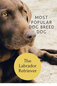 Everything you need to know about the Labrador Retriever breed of dog, How to keep your Labrador Retriever Healthy #LabradorRetriever #Lab #LoveLabradors  #DogBreed #Labrador #RaisingALabradorPuppy #GuideDogs #ServiceDogs #FamousLabradorRetrievers #FavouriteDogBreed