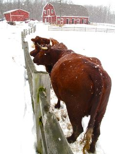 cows watching- snow falling