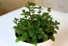 Flower mint seeds bonsai 30 Peppermint seed four seasons multicast balcony Planting Seeds, Planting Flowers, Mint Herb, Mint Plants, Herb Seeds, Bonsai Garden, Organic Herbs, Flower Seeds, Gardens