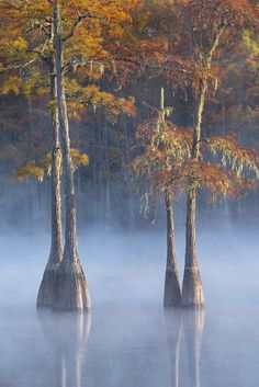 A duo of cypress trees bathed in fog and autumn  - southeastern swamplands