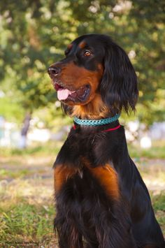 Sherry ~ Gordon Setter ~ Classic Look & Trim Setter Puppies, Dogs And Puppies, Cute Cats And Dogs, I Love Dogs, Schnoodle Rescue, Red And White Setter, Gordon Setter, Dog Rules, Irish Setter