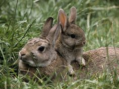 Mother rabbits don't stay with their newborns all day because they draw predators. They usually nurse one to two times a day. If you find a litter of kits, let them alone. Their mother is watching from afar for their safety.