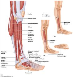 Anatomy of leg and knee knee muscle anatomy pictures keeping on anatomy of lower leg muscles lower leg muscle anatomy human anatomy diagram ccuart Choice Image