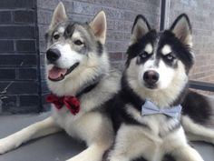 How Adorkable Are These Animals in Bow Ties?!