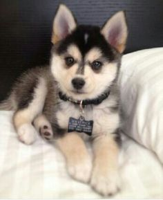 Half pomeranian, half husky. It's called a Pomsky and I NEED one. They're so adorable! I've always wanted a husky but they're so big and I don't have space for them. But these pomskies are perfect alternatives!