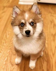 Pomsky Puppies, Azula, Northern California, Corgi, Animals, Animais, Corgis, Animales, Animaux