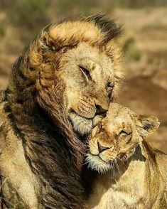 "Photos: romantic animals on valentine's day"" - карточка поль Lion Images, Lion Pictures, Animal Pictures, Lion Love, Cat Love, Couple Lion, Beautiful Cats, Animals Beautiful, Big Cats"