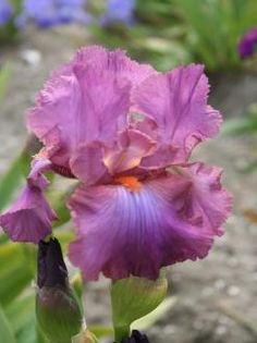 Iris Germanica Windsor Rose