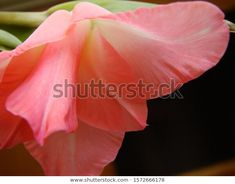 Find Pink Gladiola Bloom Close stock images in HD and millions of other royalty-free stock photos, illustrations and vectors in the Shutterstock collection. Thousands of new, high-quality pictures added every day. Vectors, Photo Editing, Royalty Free Stock Photos, Bloom, Illustrations, Pictures, Pink, Photography, Collection