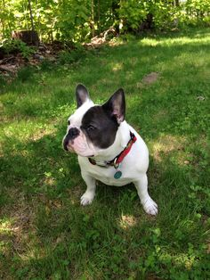 French bulldog Emma Jane frenchie