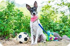 Victoria Bc Australian Cattle Dog Mix Meet Heidi A Dog For Adoption Http Www Adoptapet With Images Australian Cattle Dog Mix Cattle Dogs Mix Australian Cattle Dog