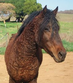 American Curly Horse:  CircleHRanch