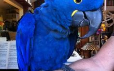 Blue Parrot Anodorhynchus Hyacinthinus