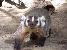 'Nubs', an American Badger. These animals are fossorial, which means they are diggers and live their lives largely underground. With long claws and short strong legs badgers are able to dig through very hard surfaces.