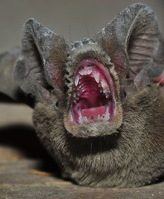 Bat mouth.  Add this to the list of things I wish I could un-see.