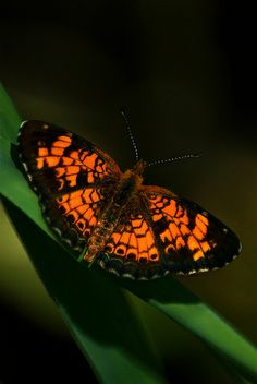 Pearl Crescent by Tiwago