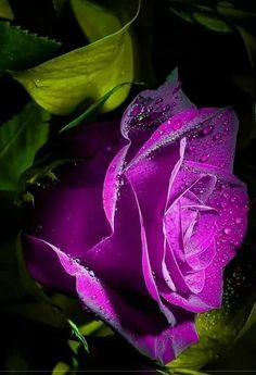 Oh lovely lavender roses!