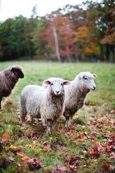 #sheep farm fence,#sheep farm farmers,sheep farm art  #cars #motorcycles #celebrities #DIY #crafts