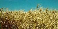 in the 60's Gaines and Fortuna wheat were introduced. In the 70's Lancota Wheat as well as purcell winter wheat was introduced to agriculture