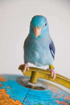 Parrotlet on top of the world!