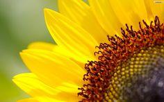 Sunflower HD Wallpapers
