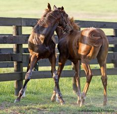 Foals Taco and Chili (out of Rachel Alexandra and Hot Dixie Chick) rough housing at Stonestreet Farm 6/20/12