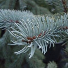 Small garden trees - Picea Pungens Hoopsii Conifer H3m
