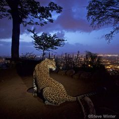 @stevewinterphoto Here is more proof that we humans live with majestic animals in urban areas without even knowing they are there - AND without major problems - if we let them be. Leopards are the most adaptable and the most persecuted cat on our planet. A Leopard drinking at a waterhole where the caretaker of a local shrine lives. The man has goats and chickens that drink the water during the day -at night he puts the livestock in his house for safety and the leopard comes down to drink