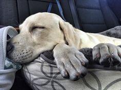 Sleepy Puppy / Puppy Cuddles / Yellow Lab / Labrador
