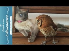 Cute Owls Compilation 2015 HD - YouTube They are just so adorable. How can i not pin this!! I want one<3
