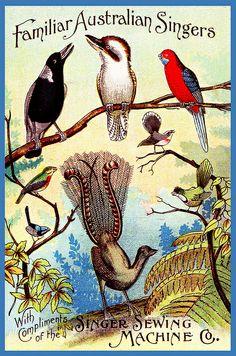 'Familiar Australian Singers', c 1895 Singer Sewing Machine Co. Australian Native Flowers, Australian Animals, Vintage Ephemera, Vintage Cards, Posters Australia, Illustration Art Nouveau, Australian Vintage, Illustrations, Vintage Travel Posters