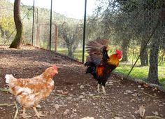 Chicchirichiiiiiii!!!!!!! #chicken#henhouse