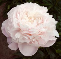 "Nick Shaylor Peony. P. lactiflora cultivar, introduced by Allison, 1931; double, blush/white, late midseason, approx. 30 - 36"" (75 - 90 cm) tall, floriferous, good fragrance"