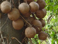 Canonball tree (Couroupita guianensis).