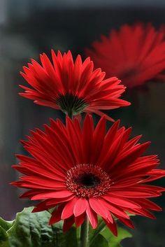 Shade Garden Flowers And Decor Ideas Gerbera Daisy Amazing Flowers, Red Flowers, Beautiful Flowers, Beautiful Images, Trees To Plant, Planting Flowers, Flowers Garden, Flower Arrangements, Gerbera Daisies