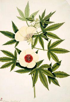 Ambary, Hibiscus cannabinus