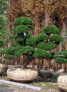 taille japonaise niwaki video hortitherapie niwakitherapie frederique dumas meditation formation stage coaching creation entretien jardins zen jardins japonais outils japonais de taille chambres d'hotes