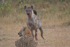 Hyena in the Masai Mara, Kenya