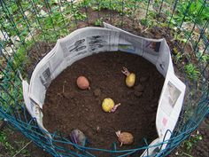 "The Lazy Person's Potato Garden – Art of Natural Living - - Growing potatoes always sounded hard. Dig a deep bed, ""fluff up"" the soil (especially painful with clay), then go back with the shovel for harvest. I am a lazy gardener. Edible Garden, Lawn And Garden, Vegetable Garden, Garden Art, Tower Garden, Growing Veggies, Growing Plants, Potatoes Growing, Planting Potatoes"