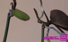 orkide çoğaltma yöntemi (1)