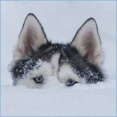 Wonderful All About The Siberian Husky Ideas. Prodigious All About The Siberian Husky Ideas. Malamute Husky, Siberian Husky Dog, Husky Puppy, Alaskan Husky, Husky Humor, Husky Breeds, Dog Breeds, I Love Dogs, Cute Dogs